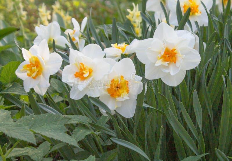 nasals weiße Blumen mit gelber Mitte auf grünem Laub lizenzfreie stockfotos