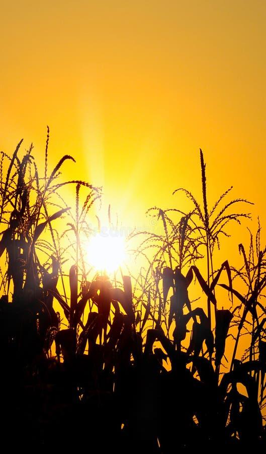 Nascer do sol alaranjado brilhante sobre um campo de milho foto de stock royalty free