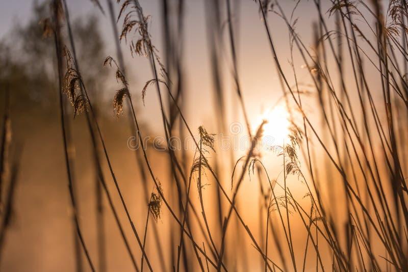 Nascer do sol através das gramas selvagens altas em Misty Morning na mola fotos de stock royalty free