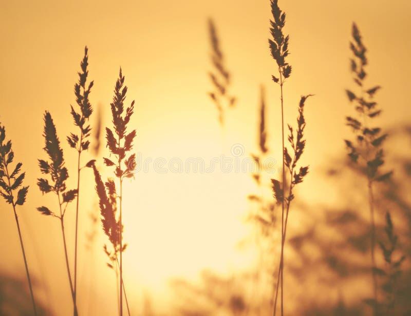 Nascer do sol através dos campos de trigo imagem de stock