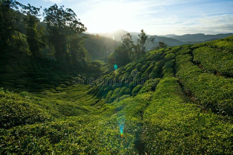 Nascer do sol bonito na plantação de chá foto de stock