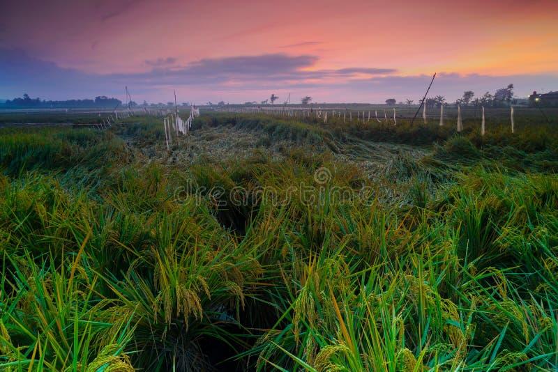 Nascer do sol bonito no kudus do rejo do tanjung, Indonésia com campo do arroz quebrado devido ao forte vento foto de stock royalty free