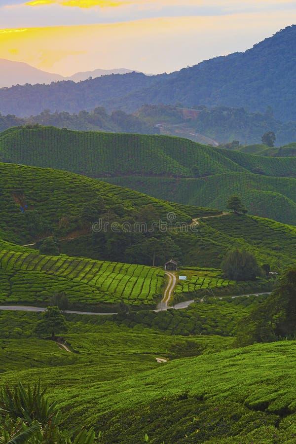 Nascer do sol bonito sobre a plantação de chá verde imagem de stock