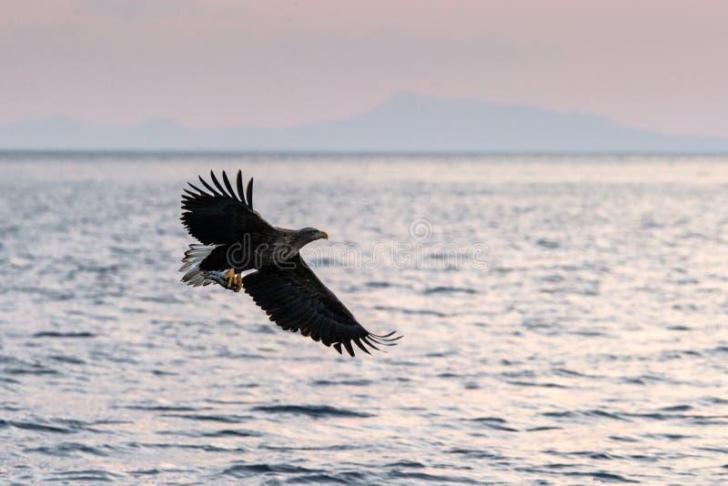 nascer do sol Branco-atado da águia em voo com a ilha no fundo, águia majestosa do Hokkaido, Japão, mar com as garras grandes com foto de stock