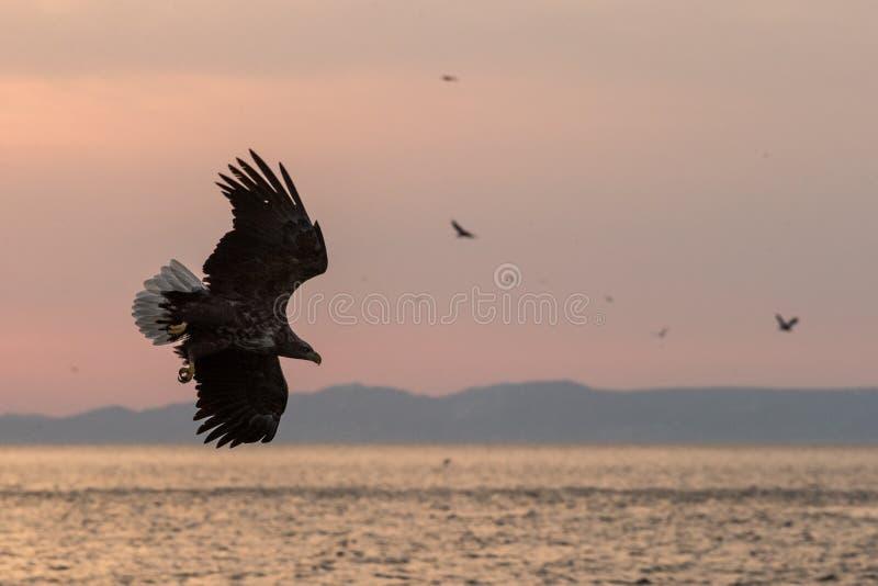 nascer do sol Branco-atado da águia em voo com a ilha no fundo, águia majestosa do Hokkaido, Japão, mar com as garras grandes que imagens de stock
