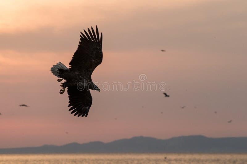 nascer do sol Branco-atado da águia em voo com a ilha no fundo, águia majestosa do Hokkaido, Japão, mar com as garras grandes que foto de stock royalty free