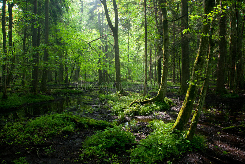 Nascer do sol da primavera na floresta de Bialowieza foto de stock royalty free