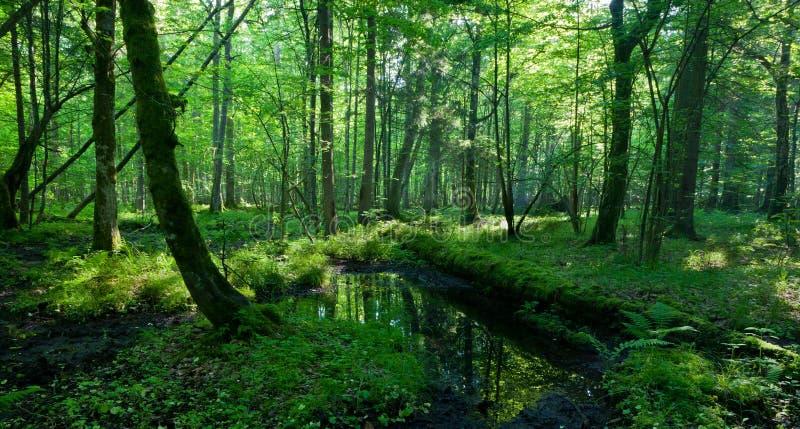 Primavera no suporte molhado da floresta de Bialowieza foto de stock