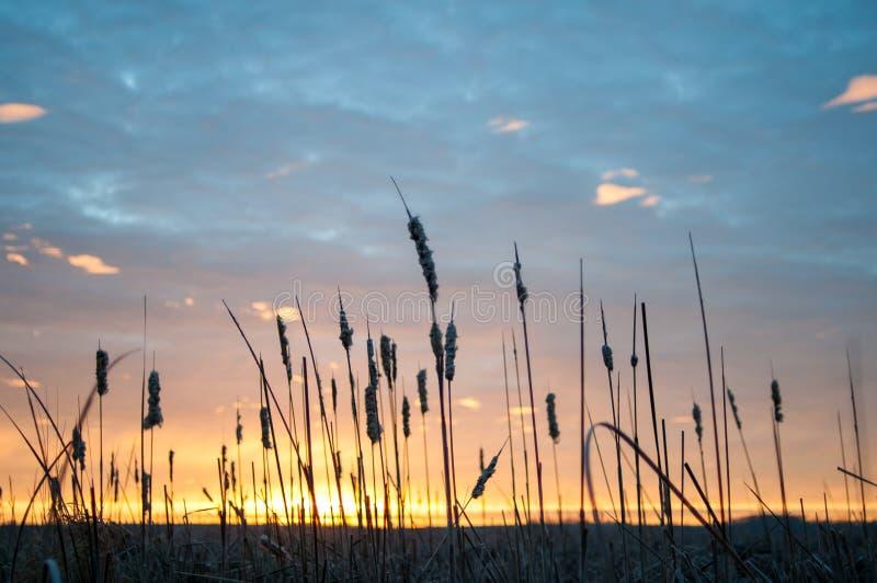 Nascer do sol do Cattail foto de stock