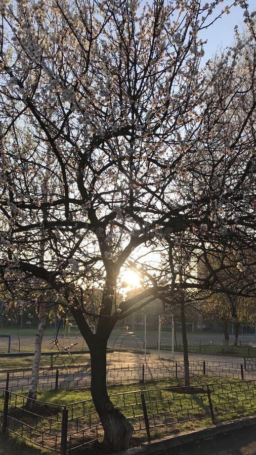 Nascer do sol e abricó de florescência fotografia de stock royalty free