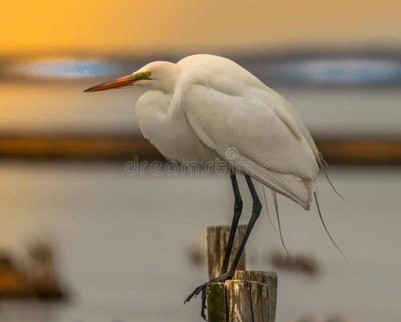 Nascer do sol do Egret de Great White foto de stock