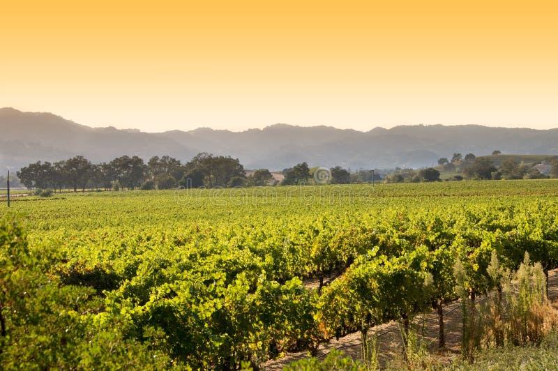 Nascer do sol em um vinhedo em Napa, Califórnia foto de stock