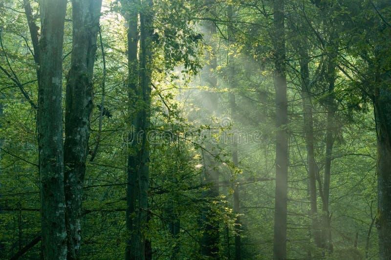 Nascer do sol enevoado na floresta fotografia de stock royalty free
