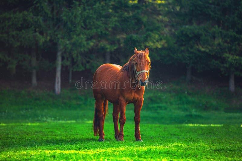 Nascer do sol m?stico sobre a montanha Cavalo selvagem que pasta no prado, Bulg?ria, Europa imagens de stock royalty free
