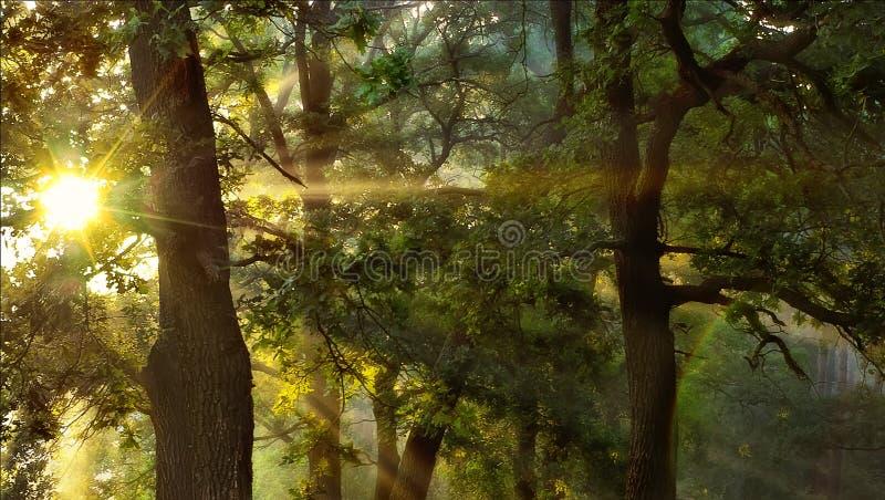 Nascer do sol na floresta do carvalho fotos de stock royalty free