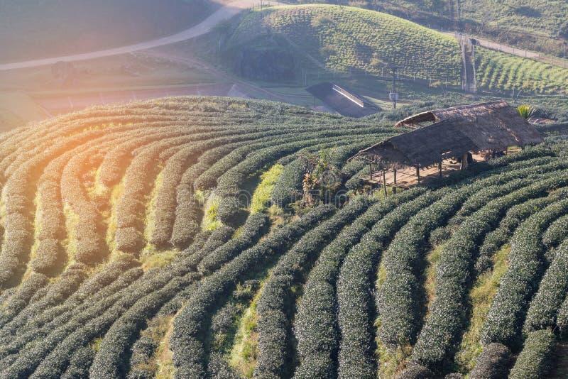 Nascer do sol na manhã com névoa branca em fileiras da plantação de chá terraced verde com as cabanas velhas no norte de Tailândi fotos de stock