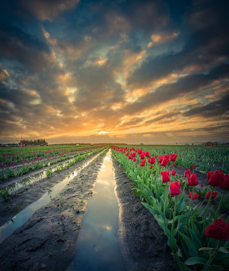 Nascer do sol na tulipa arquivada após uma tempestade fotografia de stock