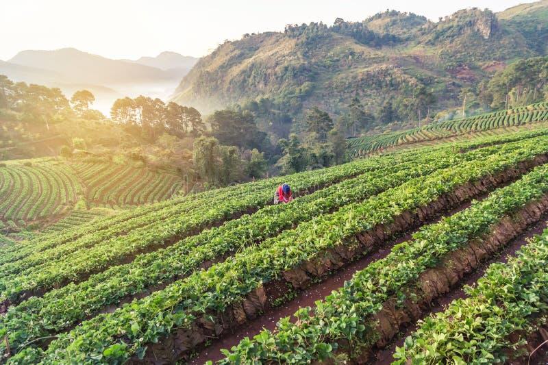 Nascer do sol no amanhecer em fileiras da plantação terraced verde da morango no khang do ANG de Doi o norte de Tailândia foto de stock