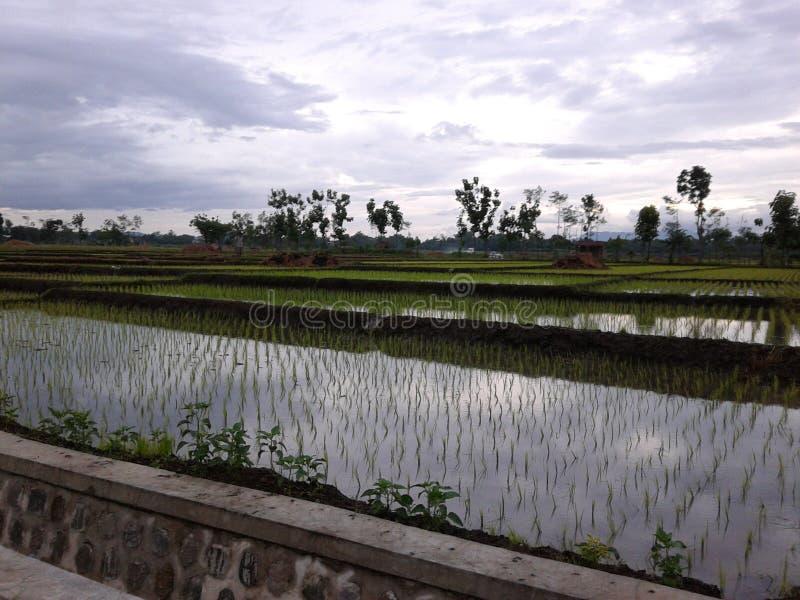 Nascer do sol no campo do arroz foto de stock royalty free