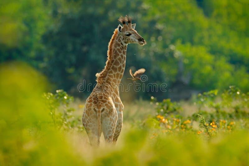 Nascer do sol novo do girafa e da manhã Vegetação verde com retrato animal Cena dos animais selvagens da natureza Luz alaranjada  imagens de stock