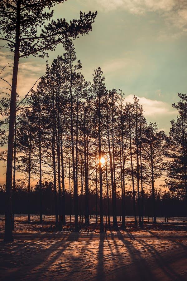 Nascer do sol retro que brilha através da madeira de pinho sob o céu alaranjado azul imagem de stock royalty free