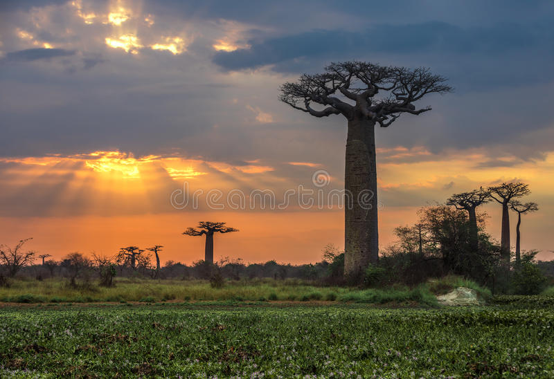 Nascer do sol sobre a avenida dos baobabs, Madagáscar imagens de stock