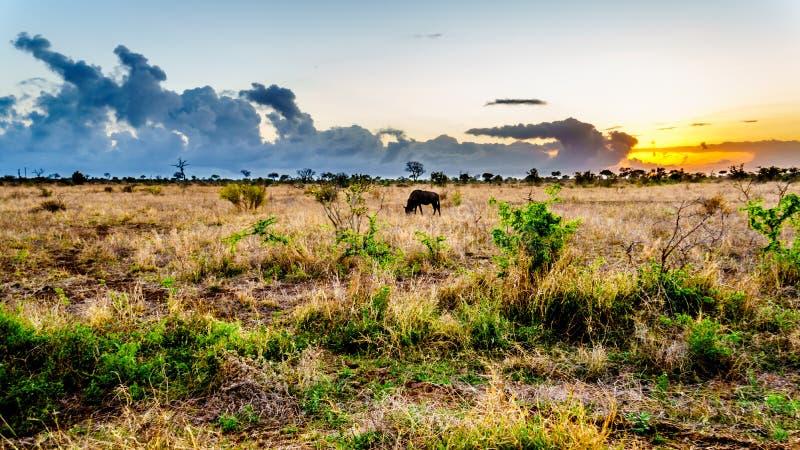 Nascer do sol sobre o savana com um gnu de pastagem no parque nacional central de Kruger foto de stock