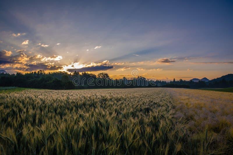 Nascer do sol sobre um campo de trigo fotografia de stock