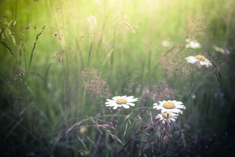 Nascer do sol surpreendente no prado do verão com wildflowers Natureza floral imagem de stock