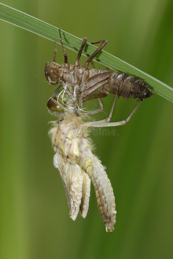 Nascimento da libélula imagem de stock