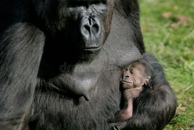 Nascita della gorilla fotografia stock
