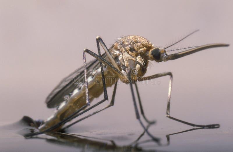 Nascita di una zanzara femminile fotografie stock