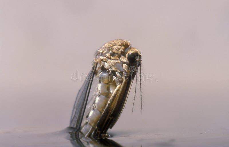 Nascita di una zanzara femminile fotografia stock libera da diritti