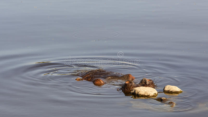 Nasenlöcher des Nilpferds stockfotografie