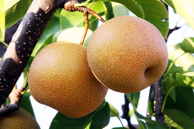 Nashi pear on the tree stock images