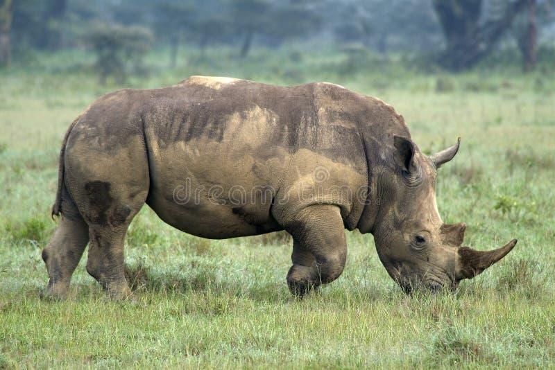 Nashorn lizenzfreies stockbild