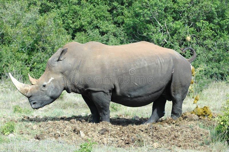 Nashorn stockfotos