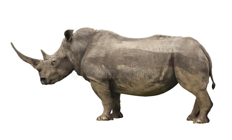 Nashorn stockfotos