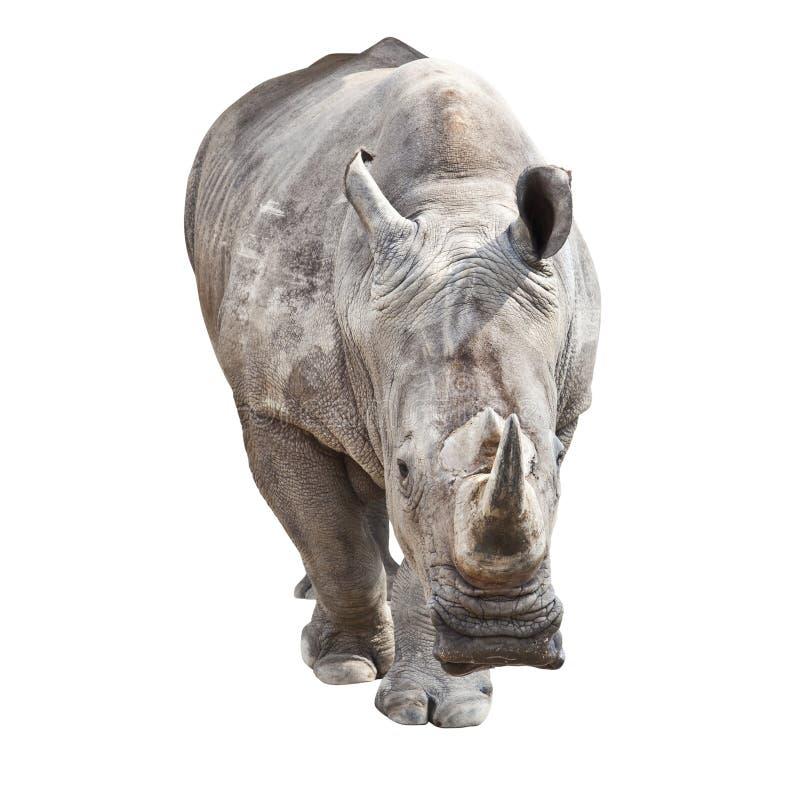 Nashorn stockbilder