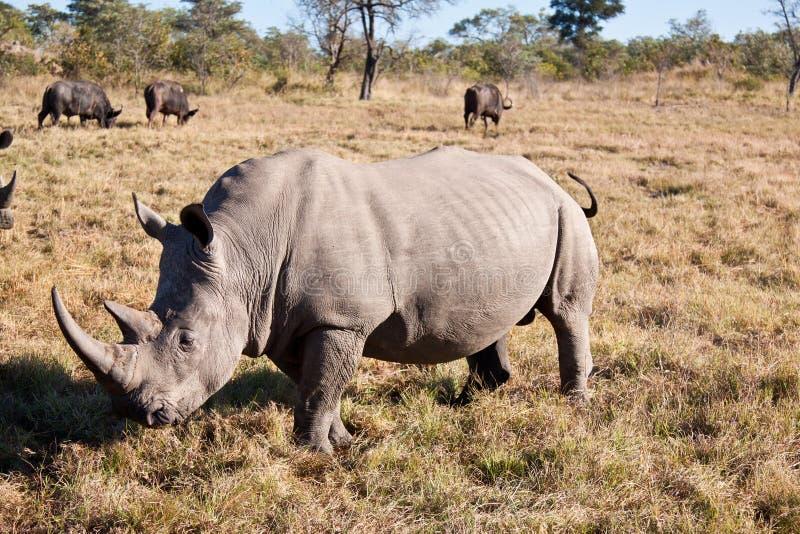 Nashorn, das auf Grasebene geht lizenzfreie stockfotografie