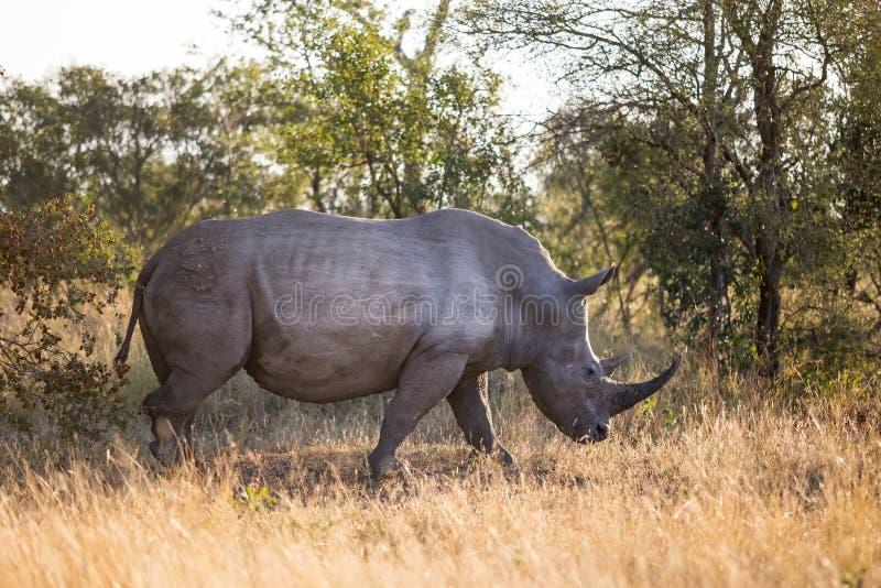 Nashorn, das in den Busch in Südafrika geht lizenzfreie stockfotografie