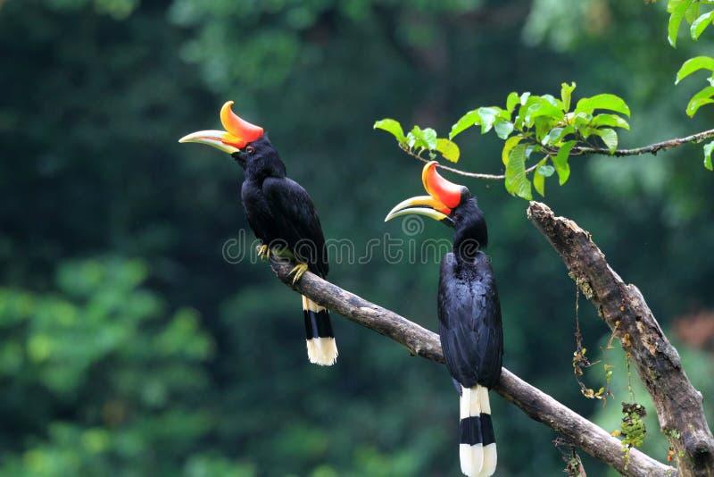 Nashorn Hornbill stockfotografie