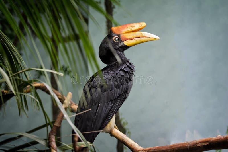 Nashorn Hornbill-Vogel stockfotos
