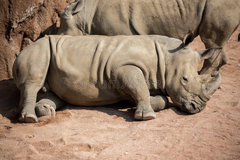 Nashorn legt sich im Staub hin lizenzfreie stockfotos