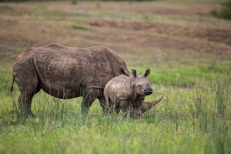 Nashorn-und Kalb-Südafrika-wild lebende Tiere stockfoto