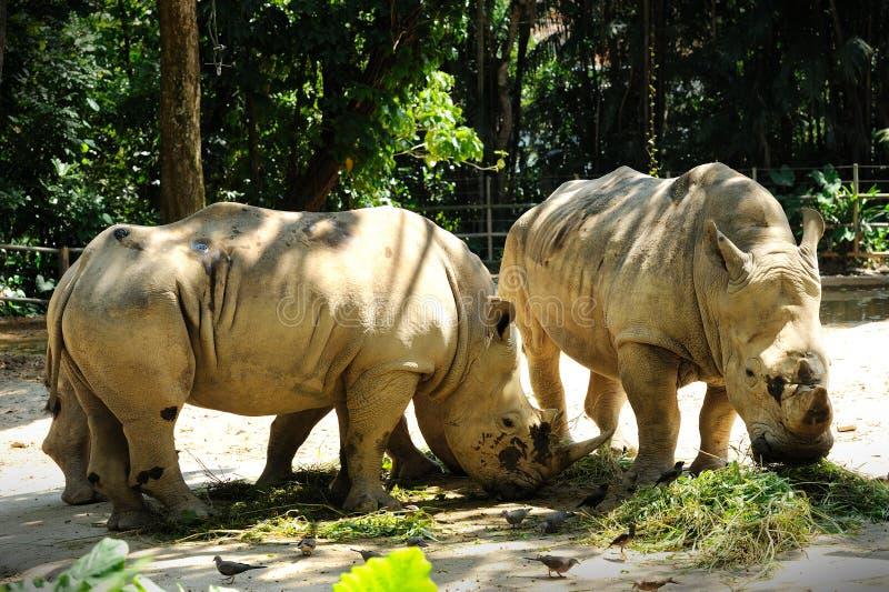 Nashorn zwei lizenzfreies stockfoto