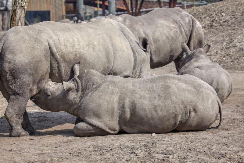 Nashornfamilie stockbilder