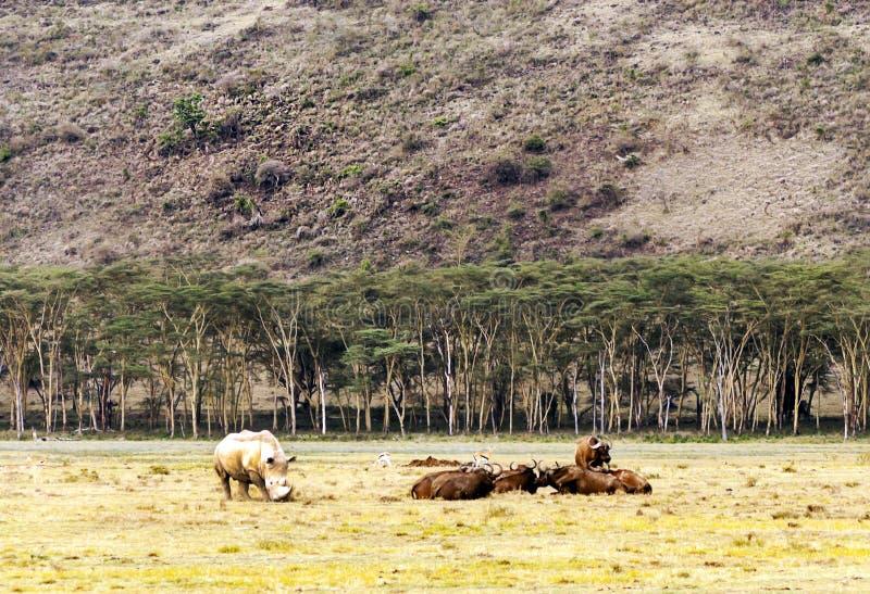 Nashorngehen lizenzfreie stockfotos