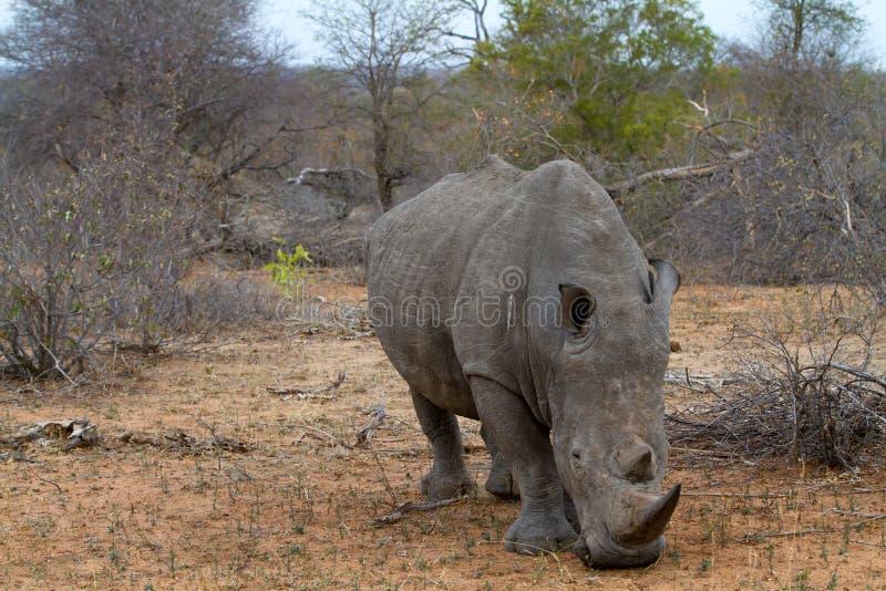 Nashorngehen lizenzfreies stockbild