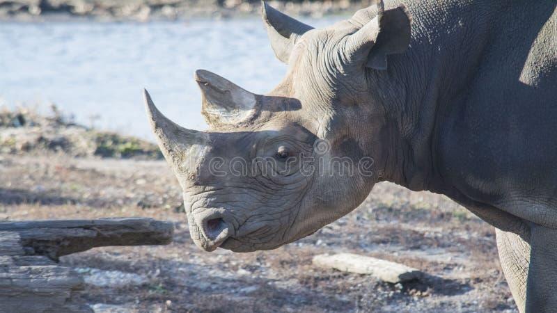 Nashornhauptschuß lizenzfreie stockbilder